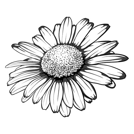 black and white image drawing: beautiful monochrome, black and white daisy flower isolated. for greeting cards and invitations of wedding, birthday, mothers day and other seasonal holiday Illustration