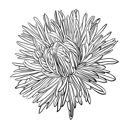 aster flower: beautiful monochrome, black and white aster flower isolated. Hand-drawn contour lines and strokes. for greeting cards and invitations of wedding, birthday, mothers day and other seasonal holiday