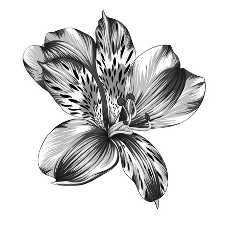 lily flower: beautiful monochrome, black and white Alstroemeria flower with watercolor effect isolated on background. for greeting card and invitations of wedding, birthday, mothers day and other seasonal holiday Illustration