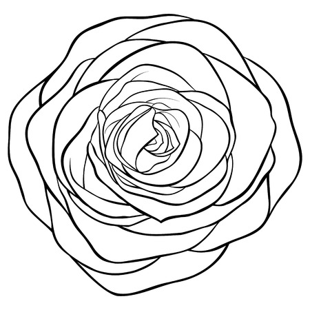 in bloom: Beautiful monochrome black and white rose isolated on white background. Hand-drawn contour line. for greeting cards and invitations of wedding, birthday, mothers day and other seasonal holiday