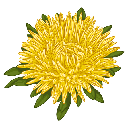 aster: Beautiful yellow aster isolated on white background. for greeting cards and invitations of the wedding, birthday, Valentines Day, mothers day and other seasonal holidays Illustration