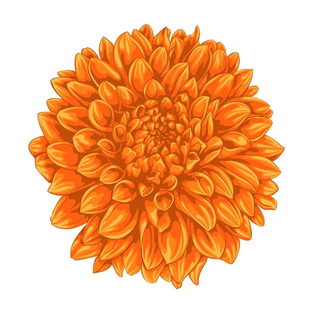 beautiful yellow dahlia isolated on white background. for greeting cards and invitations of the wedding, birthday, Valentines Day, mothers day and other seasonal holidays Illustration