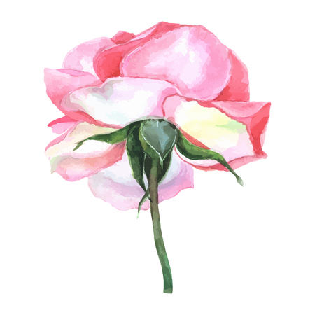 red rose: beautiful rose watercolor hand-painted isolated on white background. for greeting cards and invitations of the wedding, birthday, Valentines Day, mothers day and other seasonal holidays