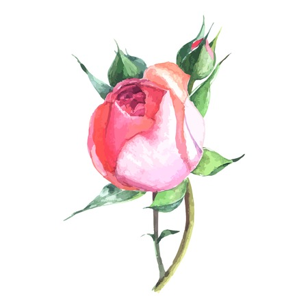 rose: beautiful rose watercolor hand-painted isolated on white background. for greeting cards and invitations of the wedding, birthday, Valentines Day, mothers day and other seasonal holidays