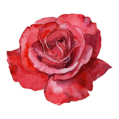 rosas rojas: hermosa rosa acuarela pintado a mano aislado sobre fondo blanco. para tarjetas de felicitación e invitaciones de la boda, cumpleaños, San Valentín, Día de la Madre y otras fiestas de temporada Vectores