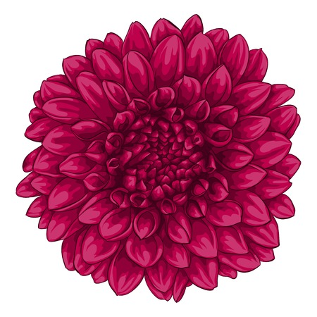 one color: beautiful pink dahlia isolated on white background. for greeting cards and invitations of the wedding, birthday, Valentines Day, mothers day and other seasonal holidays Illustration