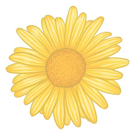 p�querette: belle fleur de marguerite jaune avec effet aquarelle isol� sur fond blanc. pour la carte de voeux et d'invitation du mariage, anniversaire, Saint-Valentin, la f�te des m�res et autres f�tes saisonni�res