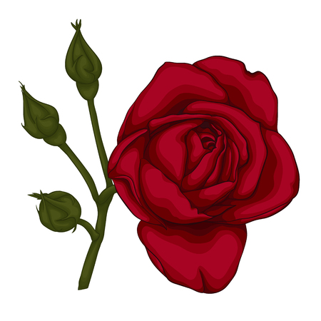 red rose: beautiful red rose isolated on white background. for greeting cards and invitations of the wedding, birthday, Valentines Day, mothers day and other seasonal holidays Illustration
