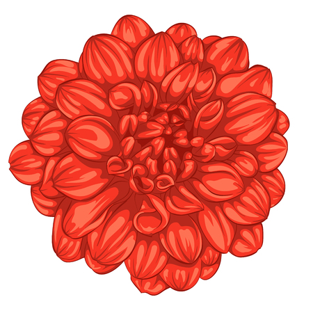 hand painted: beautiful red dahlia isolated on white background. for greeting cards and invitations of the wedding, birthday, Valentines Day, mothers day and other seasonal holidays