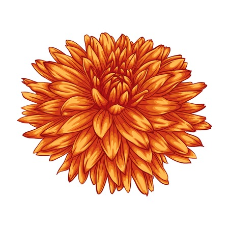 dahlia: beautiful yellow dahlia isolated on white background. for greeting cards and invitations of the wedding, birthday, Valentines Day, mothers day and other seasonal holidays Illustration
