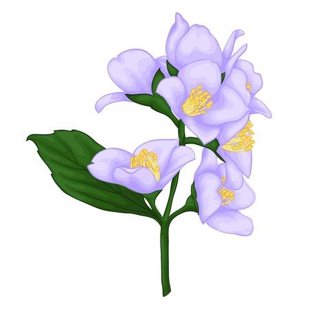 flor violeta: hermosa rama de jazm�n aislados en fondo blanco. para tarjetas de felicitaci�n e invitaciones de la boda, cumplea�os, D�a de San Valent�n, d�a de la madre y otras fiestas estacionales Vectores