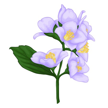 mooie jasmijn tak op een witte achtergrond. voor wenskaarten en uitnodigingen van de bruiloft, verjaardag, Valentijnsdag, moederdag en andere Kerstvakantie