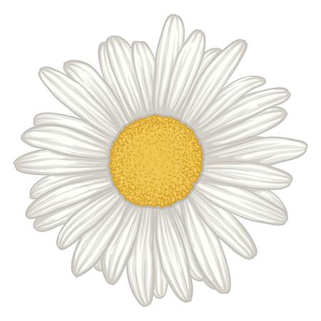 pâquerette: belle fleur de marguerite blanche isolé. pour les cartes de v?ux et des invitations de mariage, anniversaire, le jour de mère et d'autres vacances saisonnière
