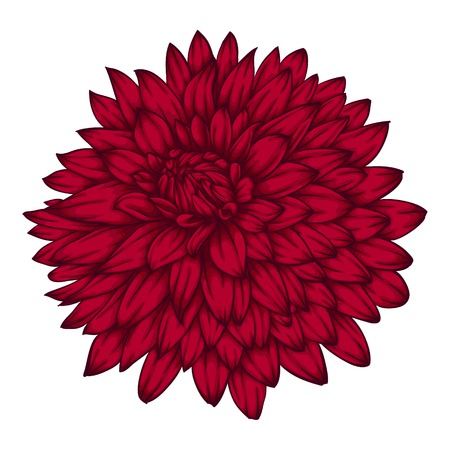 single flower: beautiful pink dahlia isolated on white background. for greeting cards and invitations of the wedding, birthday, Valentines Day, mothers day and other seasonal holidays Illustration