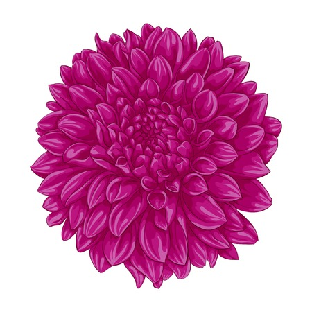 beautiful pink dahlia isolated on white background. for greeting cards and invitations of the wedding, birthday, Valentines Day, mothers day and other seasonal holidays Illustration