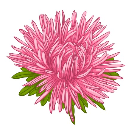 aster: Beautiful aster isolated on white background. for greeting cards and invitations of the wedding, birthday, Valentines Day, mothers day and other seasonal holidays