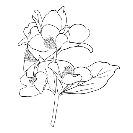 jasmin: beautiful monochrome black and white flower isolated on white background. Hand-draw contour line and strokes. greeting card and invitation of wedding, birthday, mothers day and other seasonal holiday