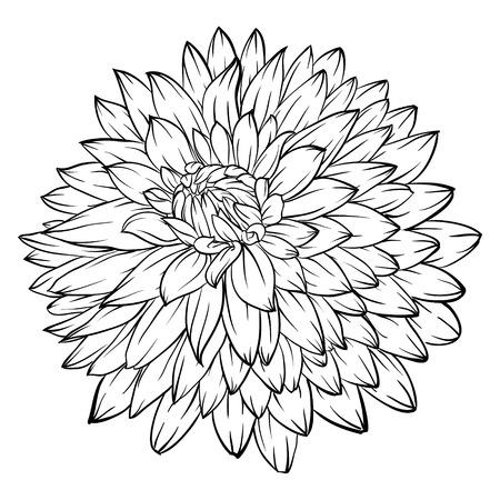 dalia: hermoso monocromático negro y flor de dalia blanca aislada en el fondo. para tarjetas de felicitación e invitaciones de la boda, cumpleaños, San Valentín, día de la madre y otra temporada de vacaciones
