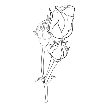 buds: Beautiful monochrome black and white rose isolated on background. Hand-drawn line. for greeting cards and invitations of the wedding, birthday, Valentines Day, mothers day and other seasonal holiday