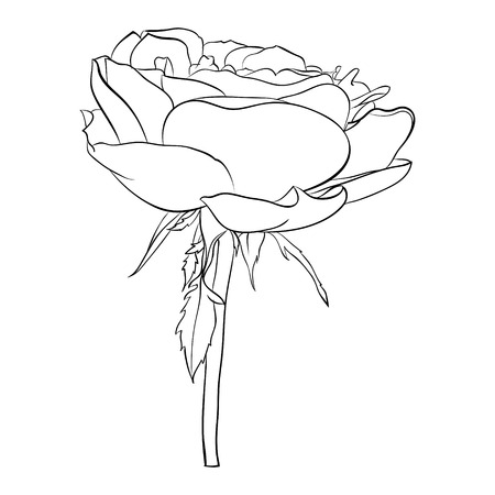 in bloom: Beautiful monochrome black and white rose isolated on background. Hand-drawn line. for greeting cards and invitations of the wedding, birthday, Valentines Day, mothers day and other seasonal holiday