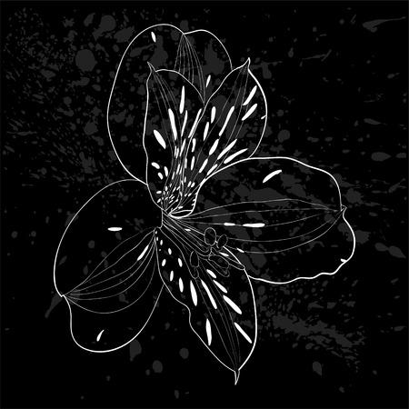 lirio blanco: hermoso blanco y negro, blanco y negro de la flor del Alstroemeria aislada. para la tarjeta de felicitación del diseño y la invitación de la boda, cumpleaños, San Valentín, día de la madre y otra temporada de vacaciones