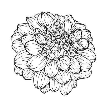 dahlia: hermosa negro blanco y negro y blanco de la flor de la dalia aislada en el fondo. Curvas de nivel de mano-dibujado. para tarjetas de felicitación e invitaciones de boda, cumpleaños, día de la madre y otro día de fiesta estacional Vectores