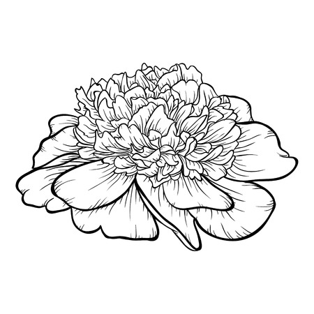 stroking: Beautiful monochrome black and white peony isolated on background. Hand-drawn contour line. for greeting cards and invitations of wedding, birthday, mothers day and other seasonal holiday Illustration