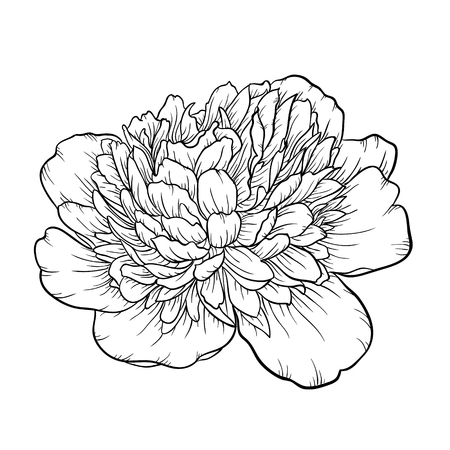 peony black: Beautiful monochrome black and white peony isolated on background. Hand-drawn contour line. for greeting cards and invitations of wedding, birthday, mothers day and other seasonal holiday Illustration