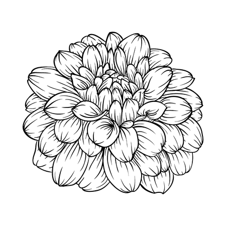 in bloom: beautiful monochrome black and white dahlia flower isolated on background. Hand-drawn contour lines. for greeting cards and invitations of wedding, birthday, mothers day and other seasonal holiday Illustration