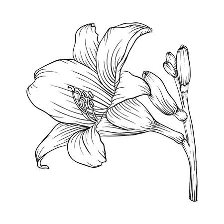 lirio blanco: Hermoso blanco y negro blanco y negro Lily aisladas sobre fondo blanco. Dibujado a mano la línea de contorno. para tarjetas de felicitación e invitaciones de boda, cumpleaños, día de la madre y otra temporada de vacaciones Vectores