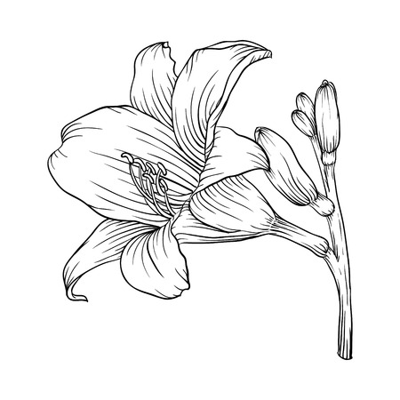 Beautiful monochrome black and white lily isolated on white background. Hand-drawn contour line. for greeting cards and invitations of wedding, birthday, mothers day and other seasonal holiday