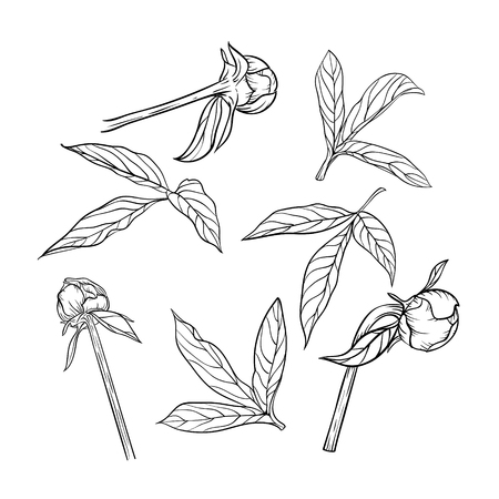 peony black: set of beautiful black and white peony leaves and buds isolated on background. Hand-drawn contour line. for greeting cards and invitations of wedding, birthday, mothers day and other seasonal holiday