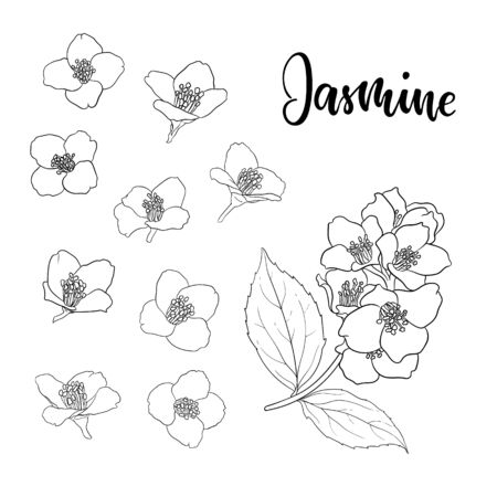 beautiful branch flower jasmine outline isolated on white background. Hand-draw contour line and strokes. greeting card and invitation of wedding, birthday, mother's day and other seasonal holiday.