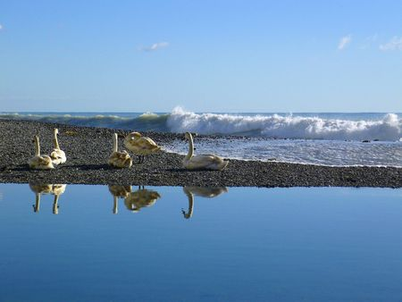pounding: a group of swans at river front with heavy waves pounding the stone beach in the Mediterranean exploding into foam in the background Stock Photo