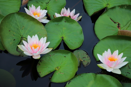 Water lily and leaves in fresh water Stock Photo