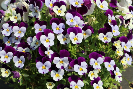 bed or violets in purple and white