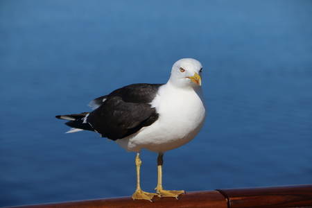 Seagull on the boat waiting for food