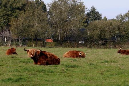 Scottish highlander in the Netherlands nearby Dwingeloo, state Drenthe