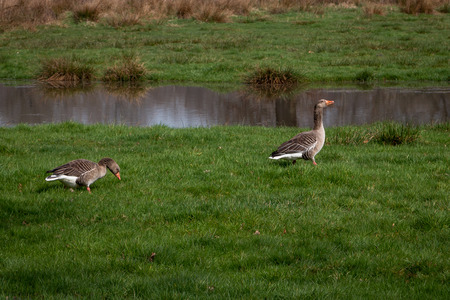 Gray goose in the grass nearby a pond, Overijssel province, Hengforden Imagens