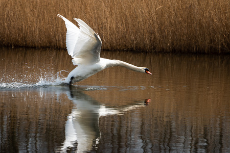 Beautiful swan in the river and ditch the Zandwetering nearby Hengforden the Netherlands province of Overijssel