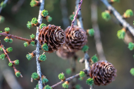 Conifer the larix in springtime with young needles
