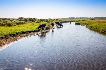 Free walking cows and standing in the water on the island Schiermonnikoog, an island laying at the North sea and the Wadden Sea of the Netherlands