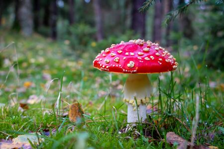 Autumn, time for mushrooms like this fly agaric with its red hood and white dots and the beautiful orange colors in the woods, picture tasks in the National Park Dwingeloo, the Netherlands