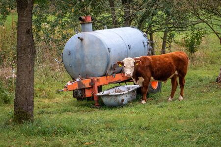 A young bull standing next to a slurry tank and a drinking trough in a grass field, looking at us Stock Photo