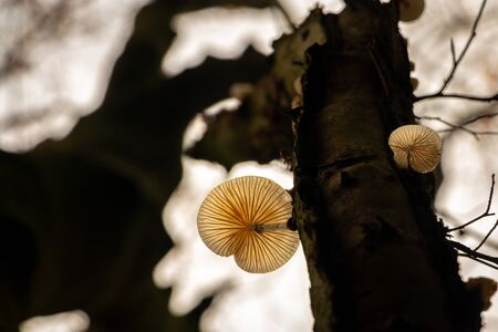 translucent mushroom at a tree trunk in autumn time, tasks from the under side looking at the mushroom veins, picture tasks in national park Dwingelderveld