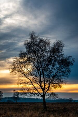 Scenery at sunset with a birch standing alone in heathland, nature reserve