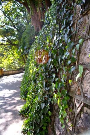 wall ivy: pared de la hiedra Foto de archivo