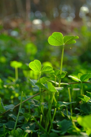 Green fresh trefoil on the field Stock Photo - 18672329