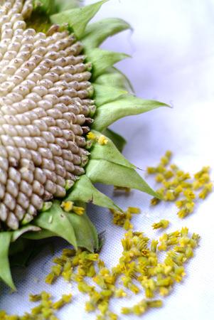 nombre d or: Les graines de tournesol nombre d'or spirale d'or en spirale de Fibonacci Banque d'images