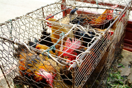chicken cage: Chicken in cage for sale